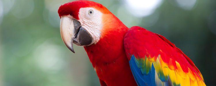 La cotorra es pariente del loro y es muy habitual como ave doméstica