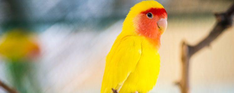 Los agapornis son aves alegres, vitales y muy sociables