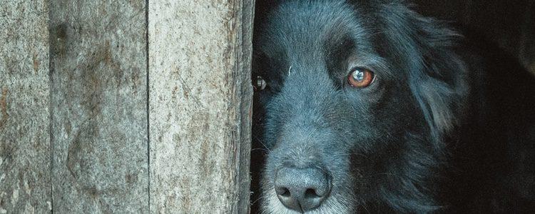Los perros que tienen una fobia huyen del estímulo que les asusta