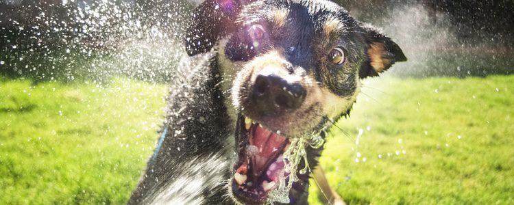 La desensibilización consiste en enfrentar poco a poco a nuestro perro a aquello que le asusta