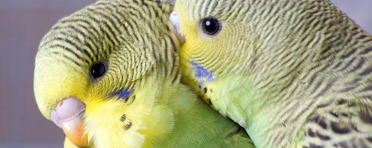 El periquito es un ave exótica a la que le gusta vivir en grupo con otros de su misma especie