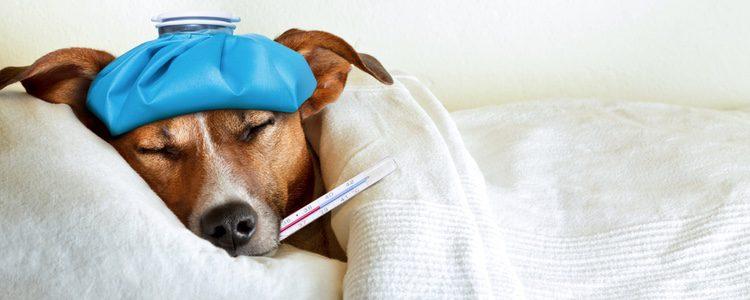 No hay manera de prevenir a nuestro perro de este comportamiento, por eso hay que cuidarlo lo mejor posible