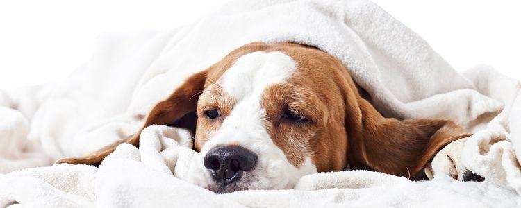 Si nuestro perro apoya la cabeza contra la pared puede que esté padeciendo un fuerte dolor de cabeza