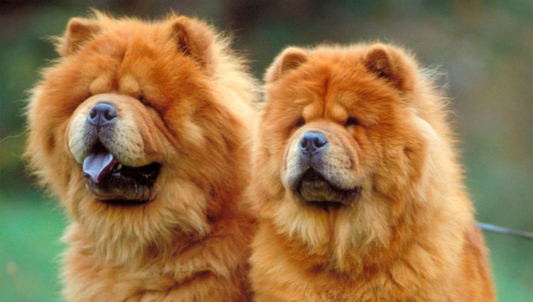 Esta raza de perro proviene del norte de China, considerado un perro budista