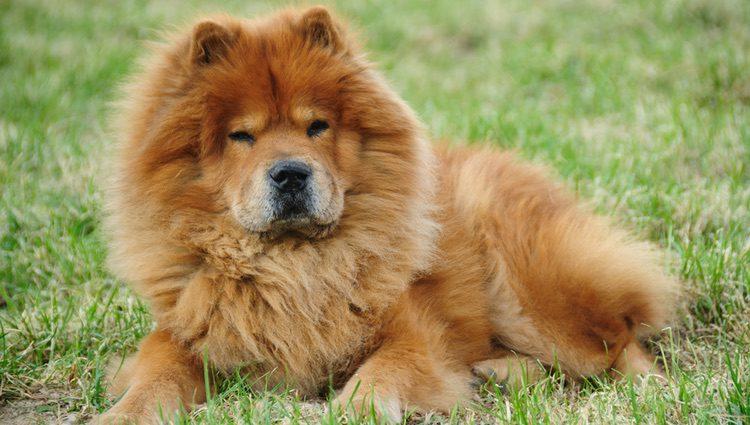 El pelaje de esta raza recuerda al de un león, con colores rojizos y camel