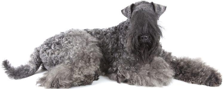 Se trata de un precioso ejemplar de perro con tonos azulados