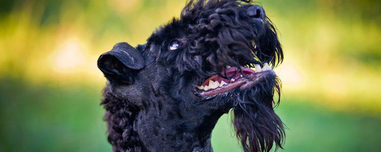 Este tipo de terrier no come grandes cantidades de comida, se sacia pronto