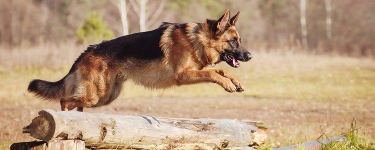 Tras la serie 'Rex, un policía diferente' el pastor alemán pasó a ser una de las razas más buscadas