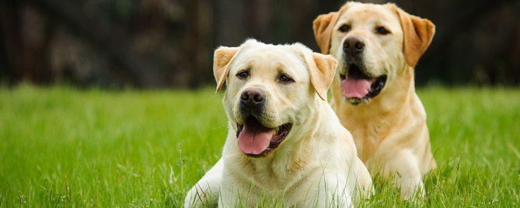 Los labradores son una de las razas más apreciadas del mundo, mucho más después de la película 'Marley y yo'