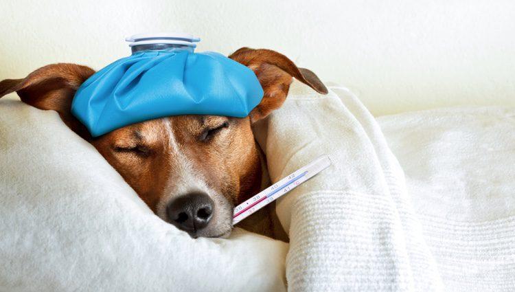 Los síntomas de la parvovirosis comienzan a aparecer tres o cuatro días tras el contagio