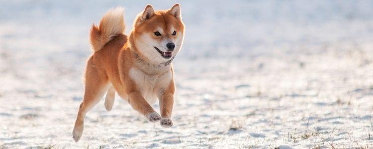 Esta raza de perro es de tradición legendaria