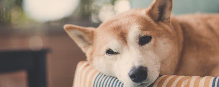 Es un perro que se adapta con facilidad a las casas o apartamentos