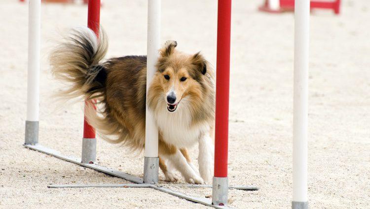 A pesar de que esta raza de perro goza de una salud inmejorable, pueden sufrir problemas oculares o capilares