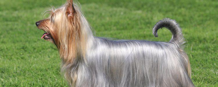 El pelaje de los Silky Terrier suele ser largo, liso y muy suave