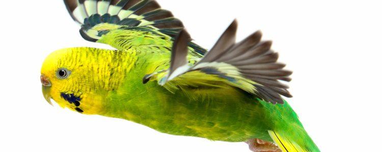 Las cotorras son unas aves que además de vivir en libertad pueden ser también animales domésticos