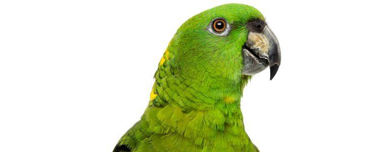 Estas aves tienen las crías en verano y se reproducen con facilidad