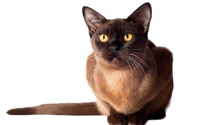 El Burmés es una raza felina de tamaño medio procedente de Tailandia