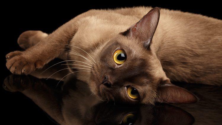 La raza Burmés fue reconocida en el año 1950, época en la que se convirtió en un gato popular en las familias estadounidenses y europeas