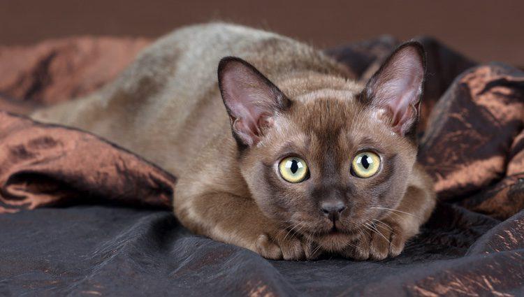 El gato Burmés se caracteriza por tener un cuerpo de tamaño mediano, fuerte, musculoso y compacto