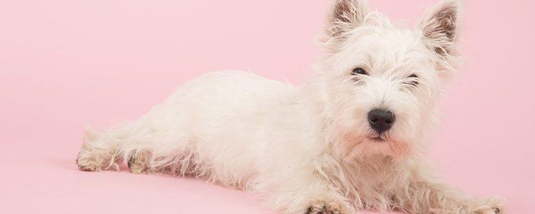 El Westie es un perro obstinado, terco, decidido, firme y valiente