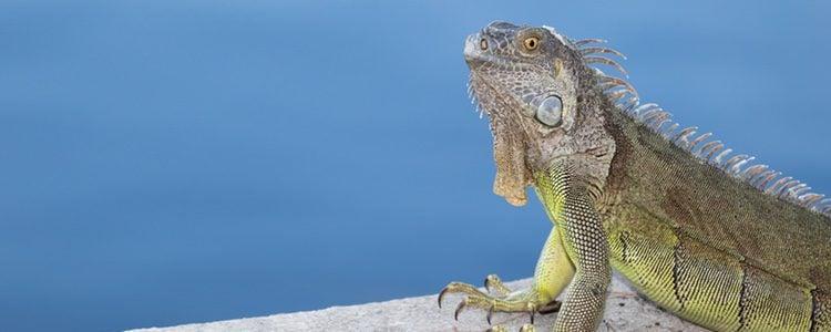 Las iguanas pueden llegar a mostrar una gran variedad de tonalidades