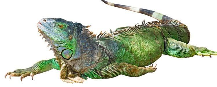 Las iguanas verdes son animales herbívoros