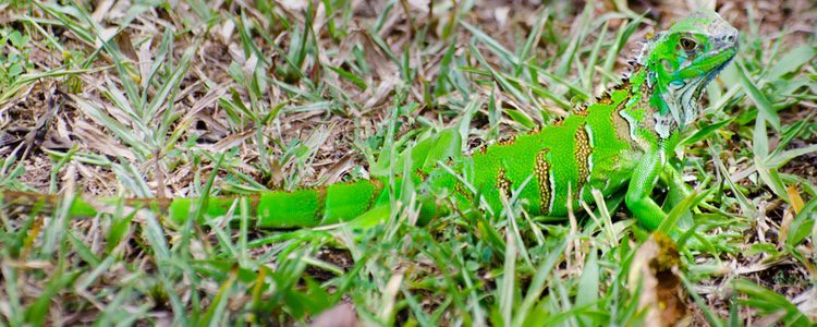 La luz es algo fundamental en las iguanas verdes