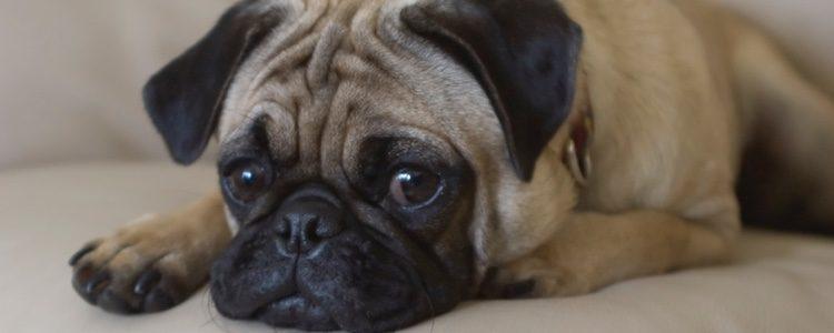Las mascotas que tienen pedigrí pueden sufrir a la larga problemas de salud