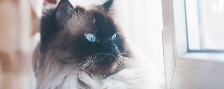 Los gatos y los perros con pedigrí son animales provenientes de un criadero exclusivo