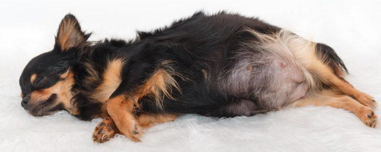 El perejil hace que la perra elimine los líquidos de las mamas más rápidamente