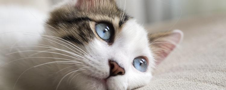 Algunos gatos nacen con los ojos azulados