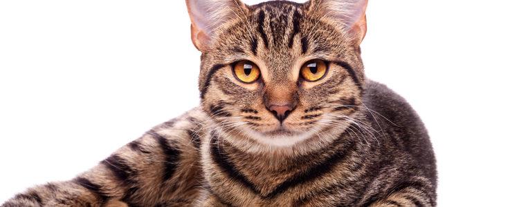 Otros gatos nacen con los ojos de color rojizo