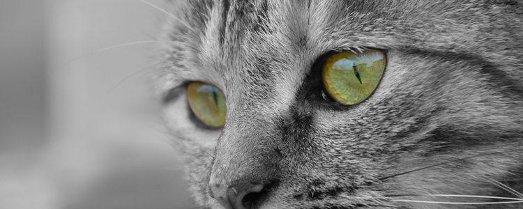 Los gatos de color canela suelen tener los ojos verdes