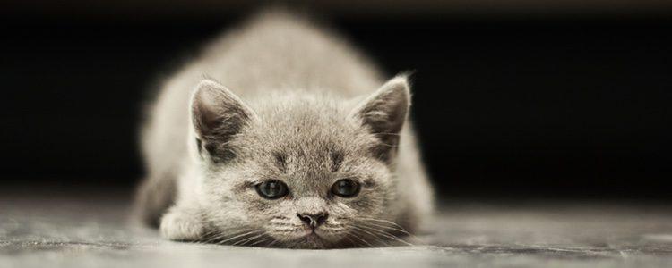 Uno de los síntomas es que tu gato se mostrará más cansado e inactivo que de costumbre