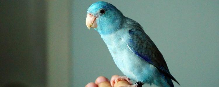 Uno de sus grandes atractivos es su pelaje en color azul o verde