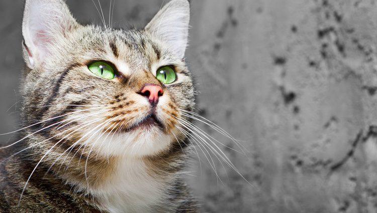 Jamás cortes los bigotes a tu gato, ya que hará que el animal no pueda moverse con normalidad