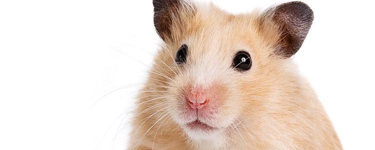 Son los roedores más pequeños y suelen ser solitarios pero muy cariñosos