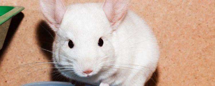 La chinchilla es un roedor muy lúdico y simpático