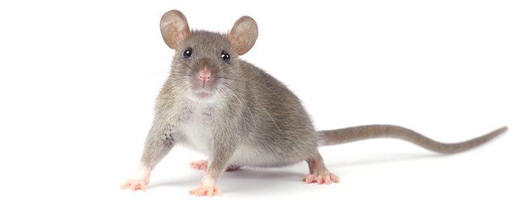 Es un animal muy inteligente y limpio, al contrario de lo que muchas personas pueden pensar