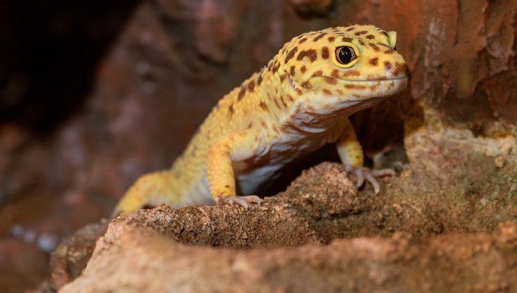 El Gecko leopardo es un reptil doméstico muy tranquilo y manso