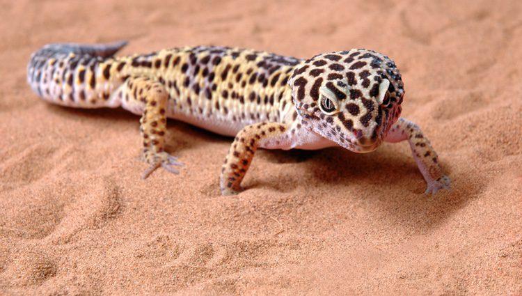Para que nuestro gecko leopardo esté agusto, es importante preparar el terreno