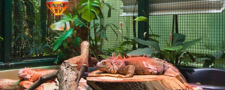Los camaleones se muestran muy agresivos si los juntas con otras especies en un mismo terrario