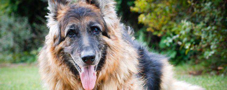 Asociamos los perros grandes que el desprendimiento de pelo pero la realidad es muy diferente