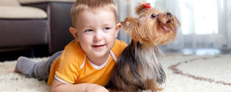 La raza de perros Yorkshire es la más adecuada para aquellos niños enfermos de asma