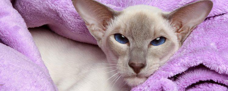 Los gatos egipcios son ideales para los enfermos de asma ya que no tiene pelo