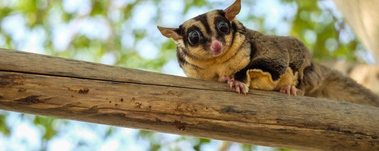 Es un animal exótico que proviene de Australia