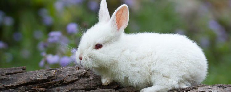 Para entrenar a tu conejo toy es necesaria una buena alimentación