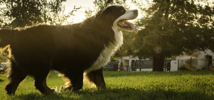 un perro de semejante tamaño requiere varias sesiones de ejercicio diario