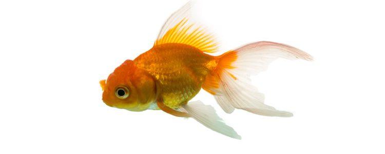 El goldfish puede ser amarillo, rojo o blanco