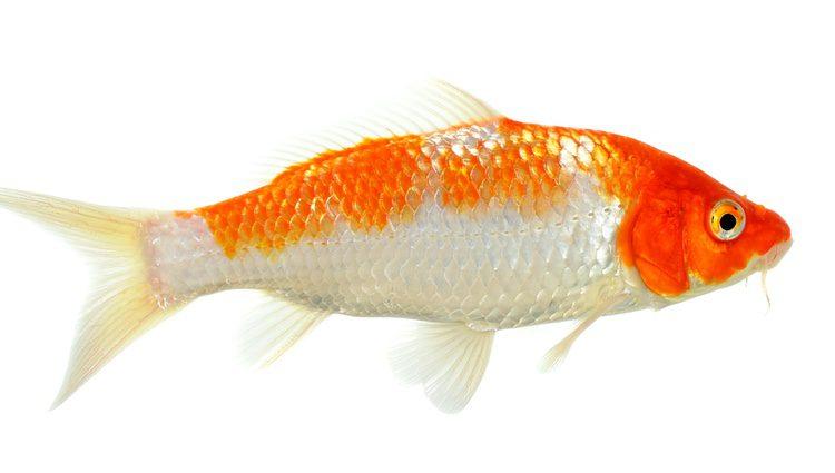 El Carpa Koi es un pez omnívoro